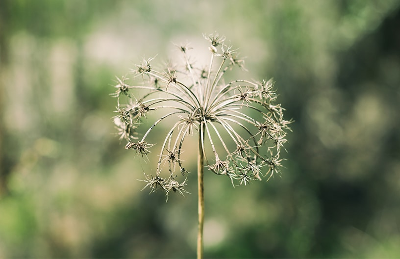 A dandelion-like flower is featured in front of a blurry green backdrop