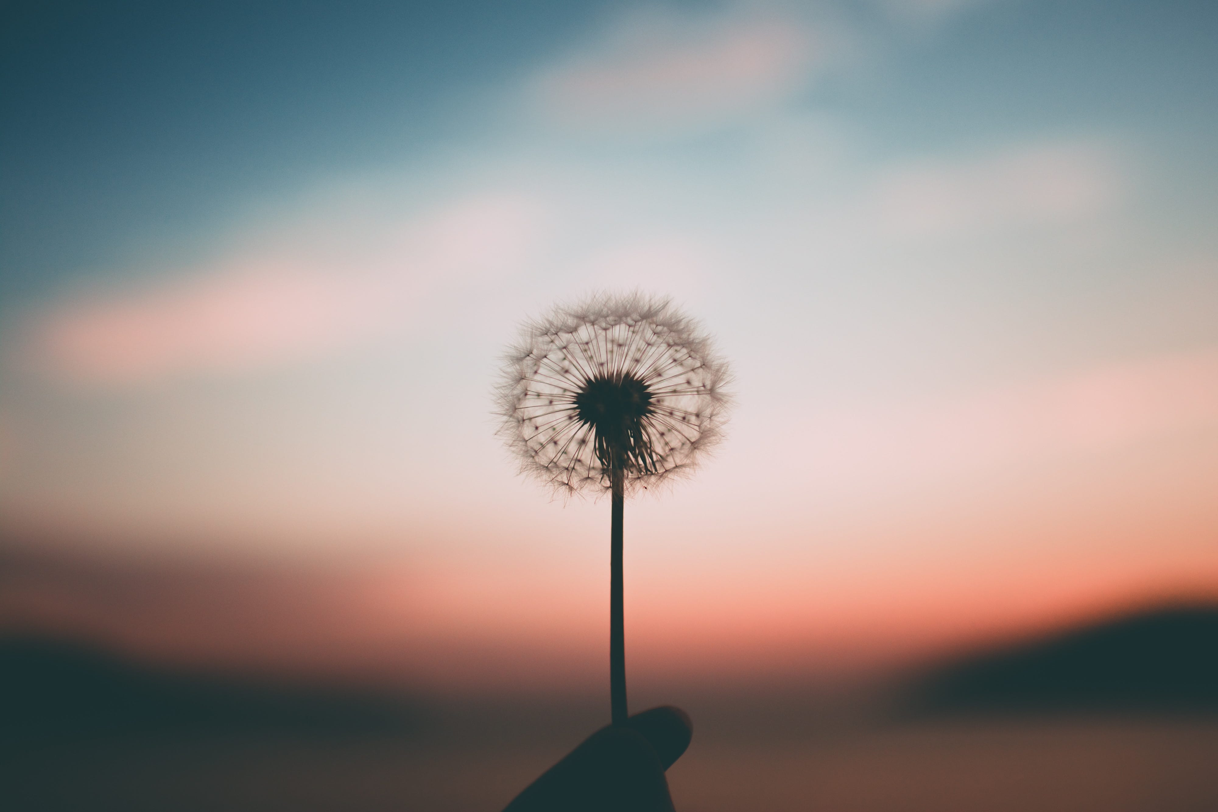 Wind blows a dandelion and pieces of it fly gently into the air all in front of a sunset